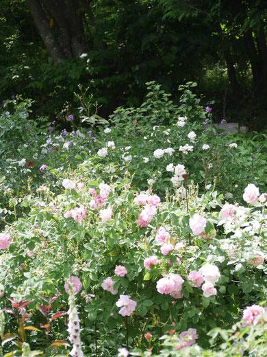 溢れんばかりにバラが咲いています。大きな木々のあるバックがまだ素敵です。