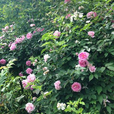 溢れるようにバラが咲いています。