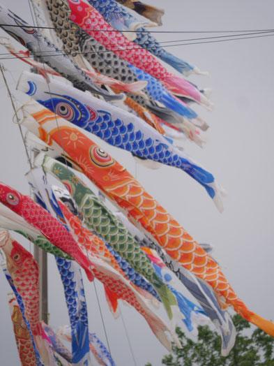 初日は曇り空でいまいち鯉のぼりも冴えません。
