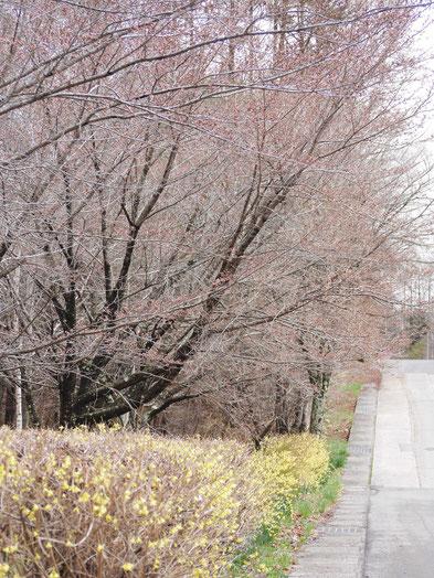 レンギョウに桜の短い並木道。