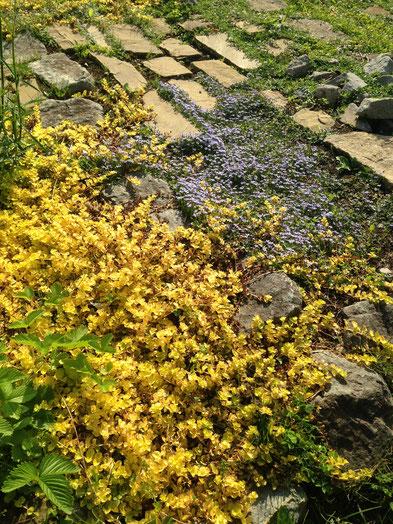 ブルーのお花はスターラベンダープラティアだそうです。下草に素敵だなと思ってディープブルーの方を買いました。