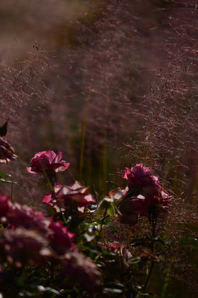 miniature roses with muhlenbergia regal mist