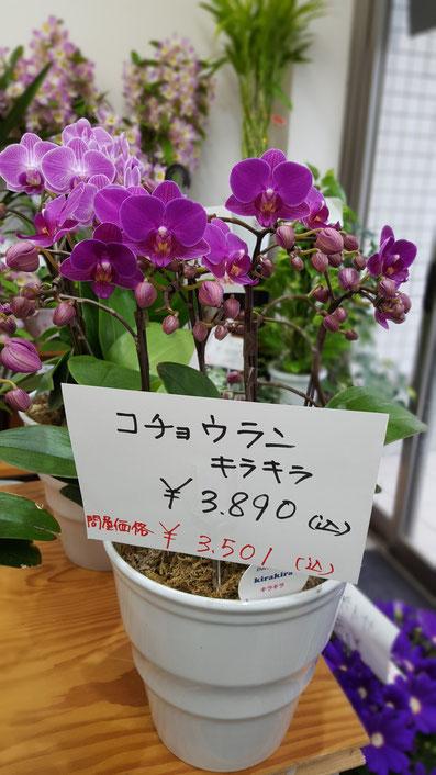 胡蝶蘭 キラキラ