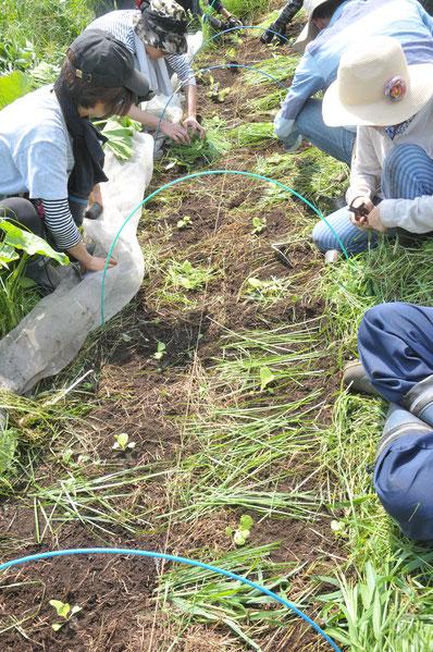 固定種 ハクサイ 自然栽培 農業体験