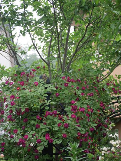 木々にバラが絡まり、その見せ方もお上手です。