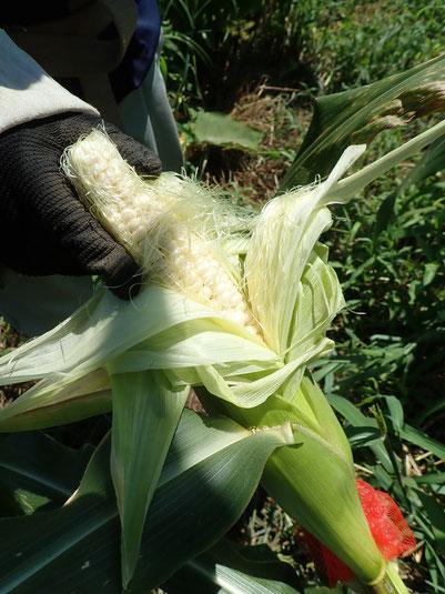 無農薬栽培のトウモロコシの育て方@さとやま農学校・すどう農園