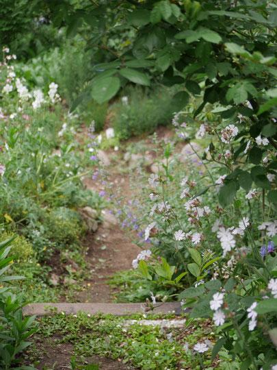 お隣りへ続く道、今年は両側にバラもありますが、シレネが咲いてくれました。