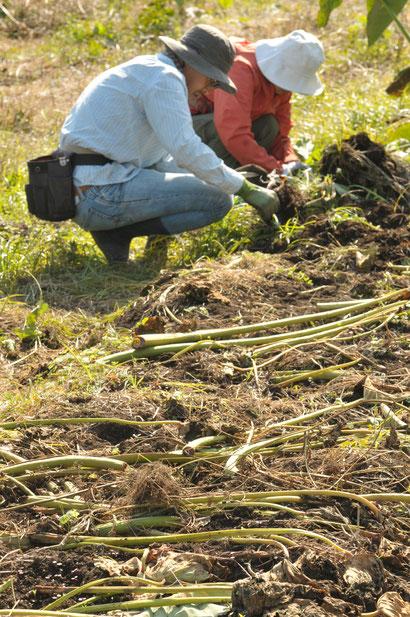 サトイモ 自然栽培 固定種 農業体験首都圏 体験農場首都圏 野菜作り教室首都圏  さとやま農学校 無農薬栽培