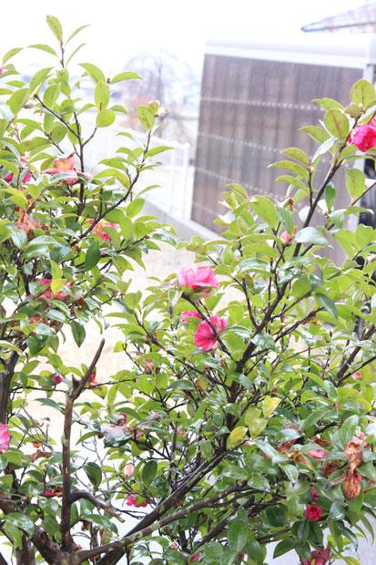 裏庭の山茶花も散り終わりに・・