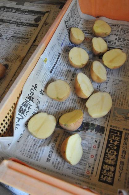 秋ジャガイモ 自然栽培 農業体験