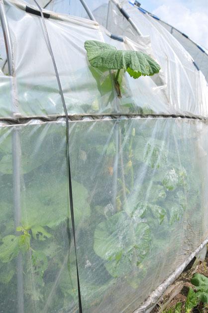 すくなカボチャ 自然栽培 固定種