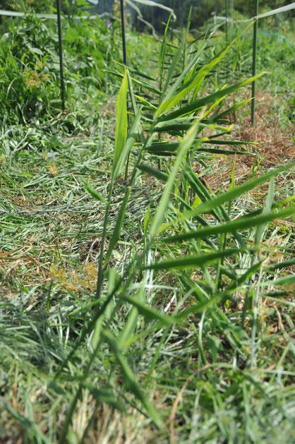 自然栽培ショウガ