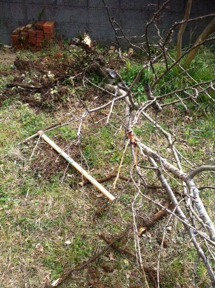 かわいそうだけど撤去した桜。その他5本撤去! 根を掘り起こすのが大変で、、(汗)