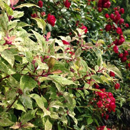 赤いコロコロした「紅玉」は必ず見ますね。自分の庭にはおかないと思うけど・・・