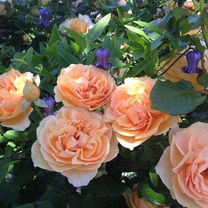 クレマチスとバラの組み合わせは素敵ですね。バラはアンゲリカ。