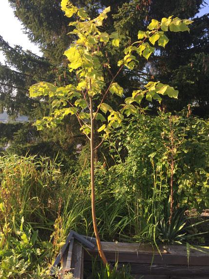 Der größte abzugebende Baum ist eine Linde, sie ist schon über 2 Meter groß!