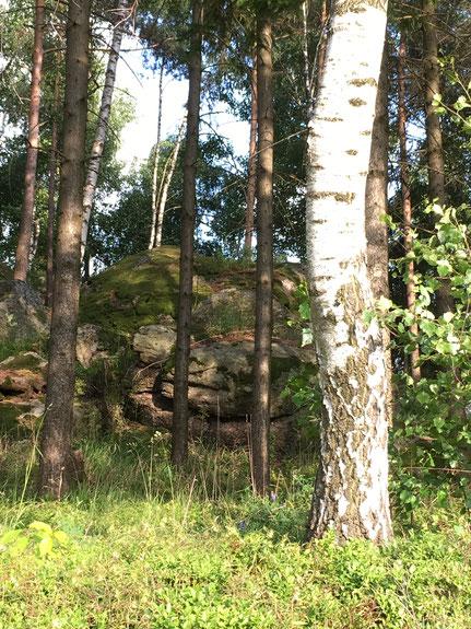Wähle nur Birken mit einem über 20cm dicken Stamm für die Safternte aus
