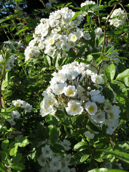 Rose Multiflora Hybride