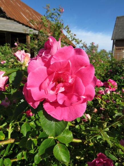 Rose Rudolfina