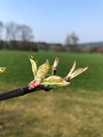 Saftmaxe Erkan Simsek Apfelblüte