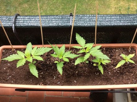 growing cannabis outdoor