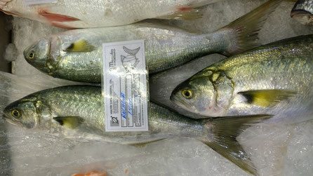 Anchova,Sardelle,Anchovy,Fisch,Peixe,Fish,Martins-Kulinarium,von der Algarve Küste,Portrugal