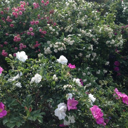 上段、左からピンクグルーテンドルスト、右ホワイトグルーテンドルスト。とてもかわいい花です。