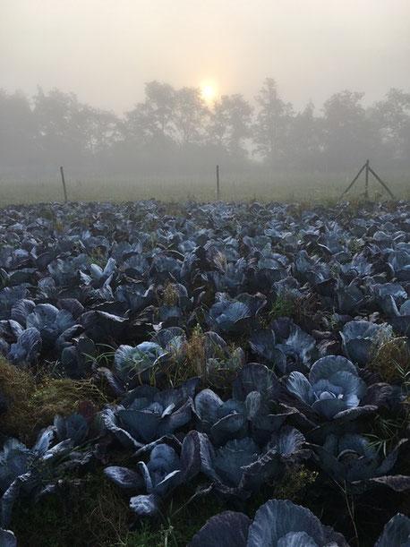 Rotkohl, vom Morgenrot erobert
