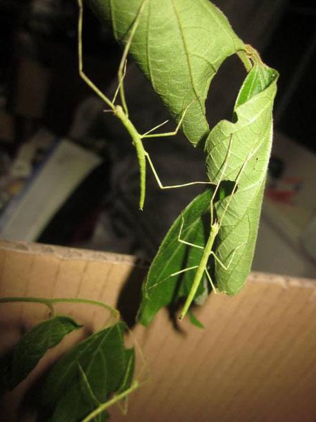 ナナフシ(ナナフシモドキ)の幼虫3
