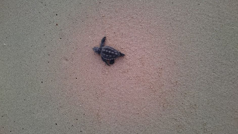 Hatchling making its way to the sea
