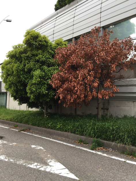 枯れていた街路樹。犬のおしっこが原因ではないと思いますが・・・