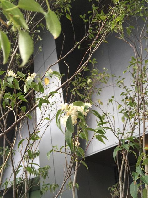 ハイノキの花。マートルのような可愛い花が咲いていました。