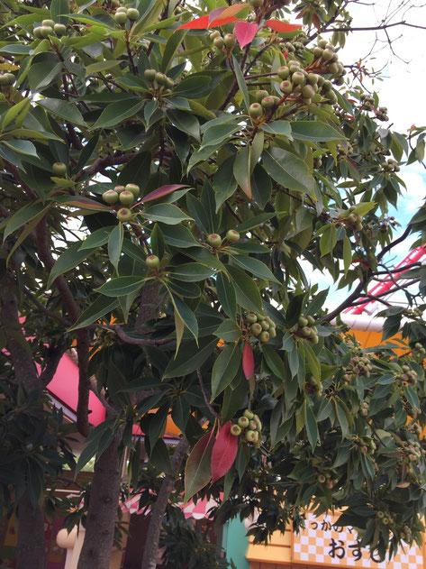 イヌビワ 赤く色づいている葉っぱもありますね。紅葉する植木なのかな?