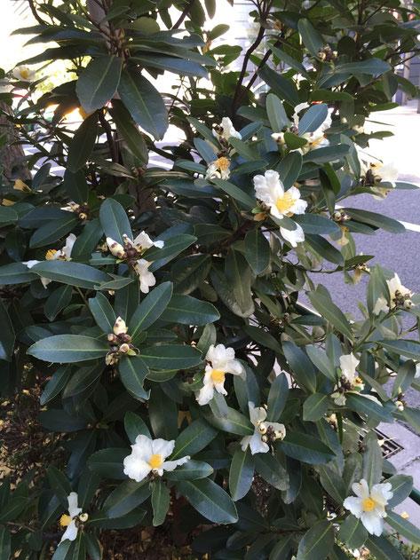 綺麗な花を咲かせていたゴードニア。街路樹で使われるのはかなり珍しい。