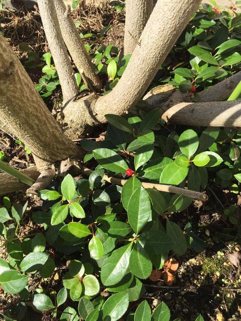 フヨウの下で下草として使われていた植物に赤い実がなっていた。コレは何?