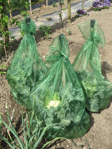 Schutz für Kohlpflanzen gegen Schädlinge im Hausgarten