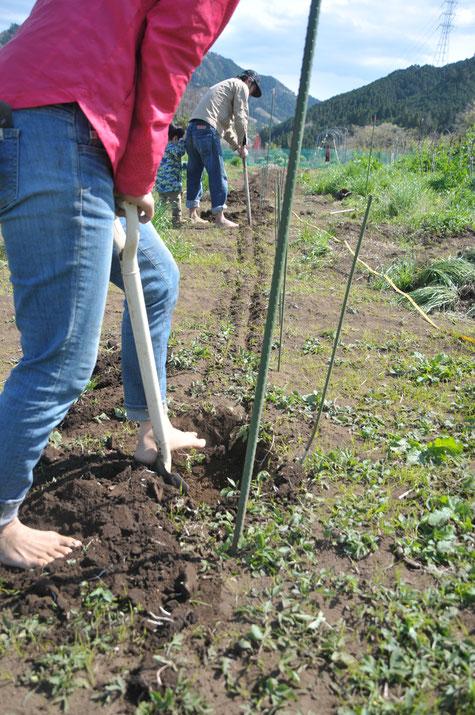 トマトの無肥料栽培