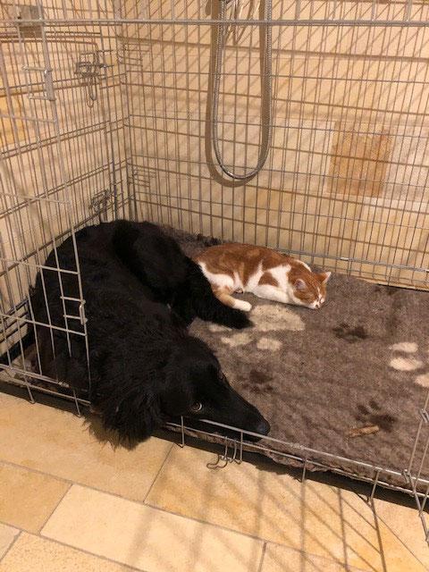 Katze und Hovawart, Hund und Katze