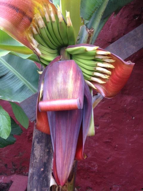Unsere erste kanarische Banane, Casa Madera La Vega, teneriffa-wanderurlaub.com