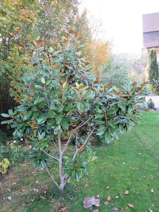Magnolia grandiflora (immergrüne Mangolie) ausgepflanzt in Schaffhausen