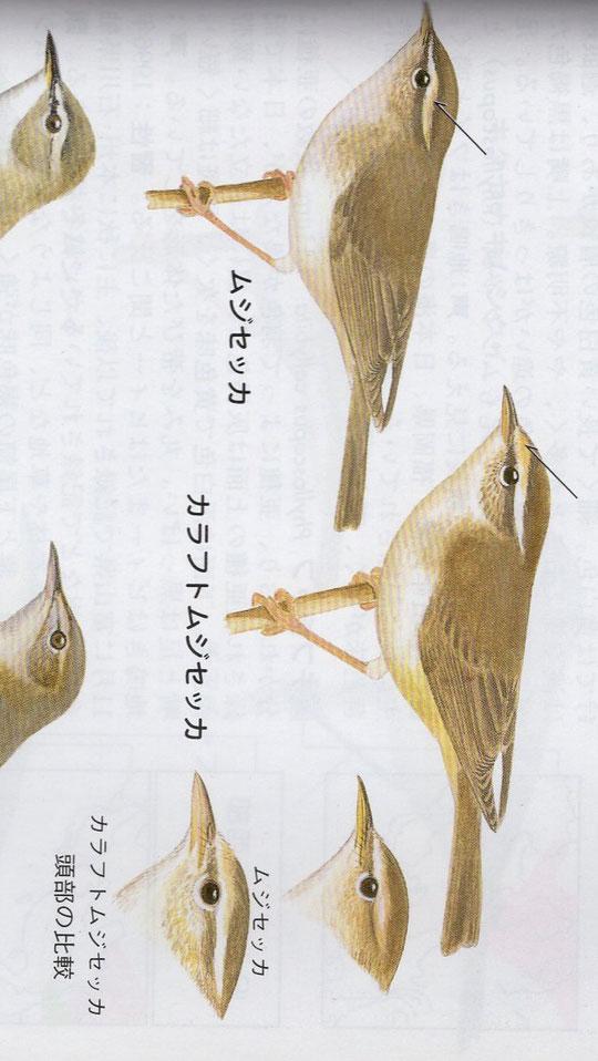 ●ムジセッカとカラフトムジセッカのちがい。日本野鳥の会の資料をトリミング(筆者)