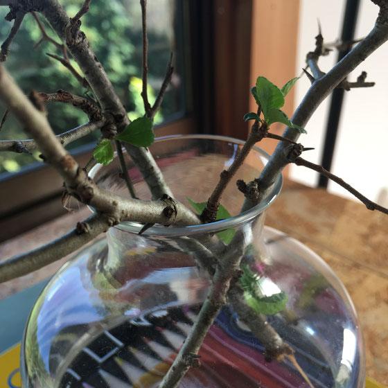 参考にと、山中湖の家近くに自生するクサボケちゃんの枝を少し拝借・・・花瓶に入れていたら、時期外れの枯れ枝に葉っぱがついた!嬉しき。Kusaboke branches that I picked near my parents' in Yamanakako. They were bare but some leaves pop out! What a joy!