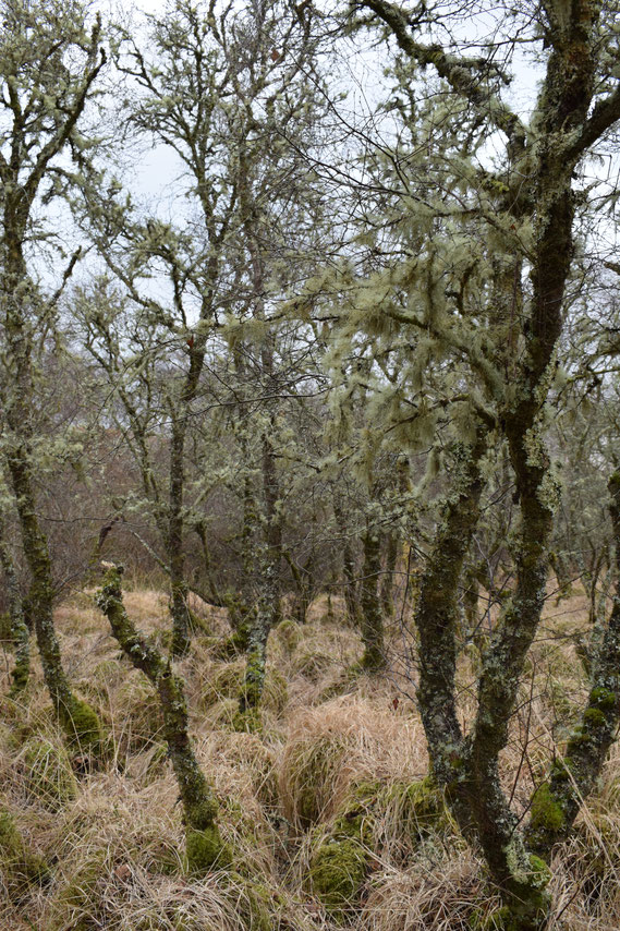 Ancient woodland, Islay