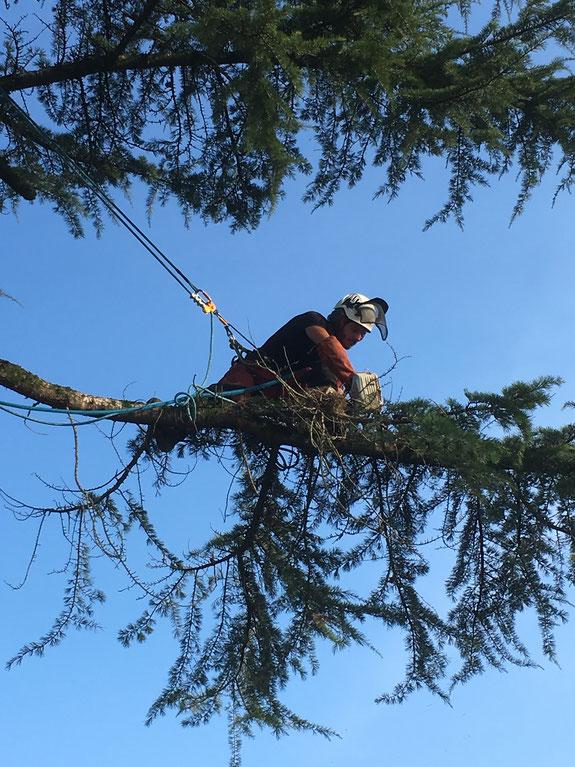 arboriste grimpeur travaillant sur corde au bout d'une branche de cèdre.