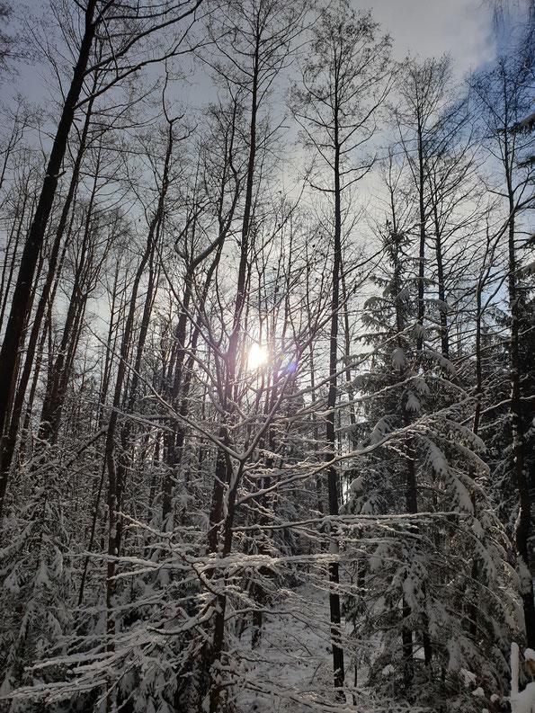 verschneiter Wald, Sonne scheint auf schneeverzierte Äste