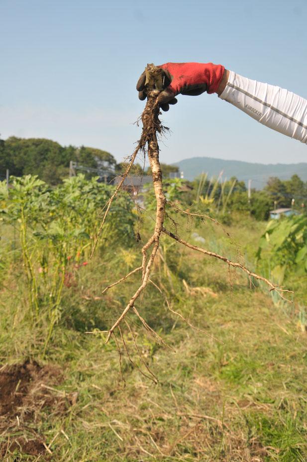 オクラの根 自然栽培 固定種 農業体験首都圏 体験農場 野菜作り教室  さとやま農学校 無農薬栽培