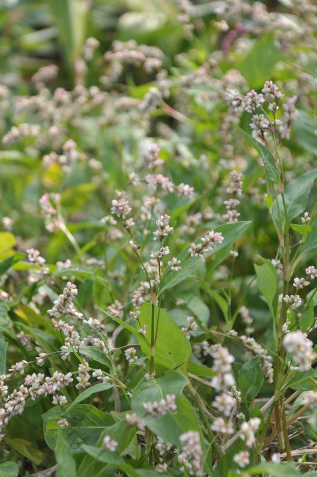 藍の花 藍染め神奈川 農業体験神奈川 体験農場神奈川 里山神奈川