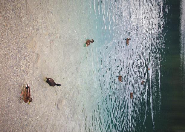 lac alpsee canard allemagne bavière