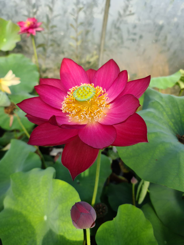 Nelumbo Red Shanghai