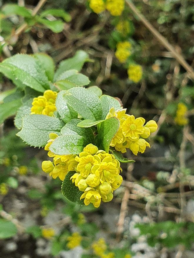 Berberis vulgaris (Gemeine Berberitze)